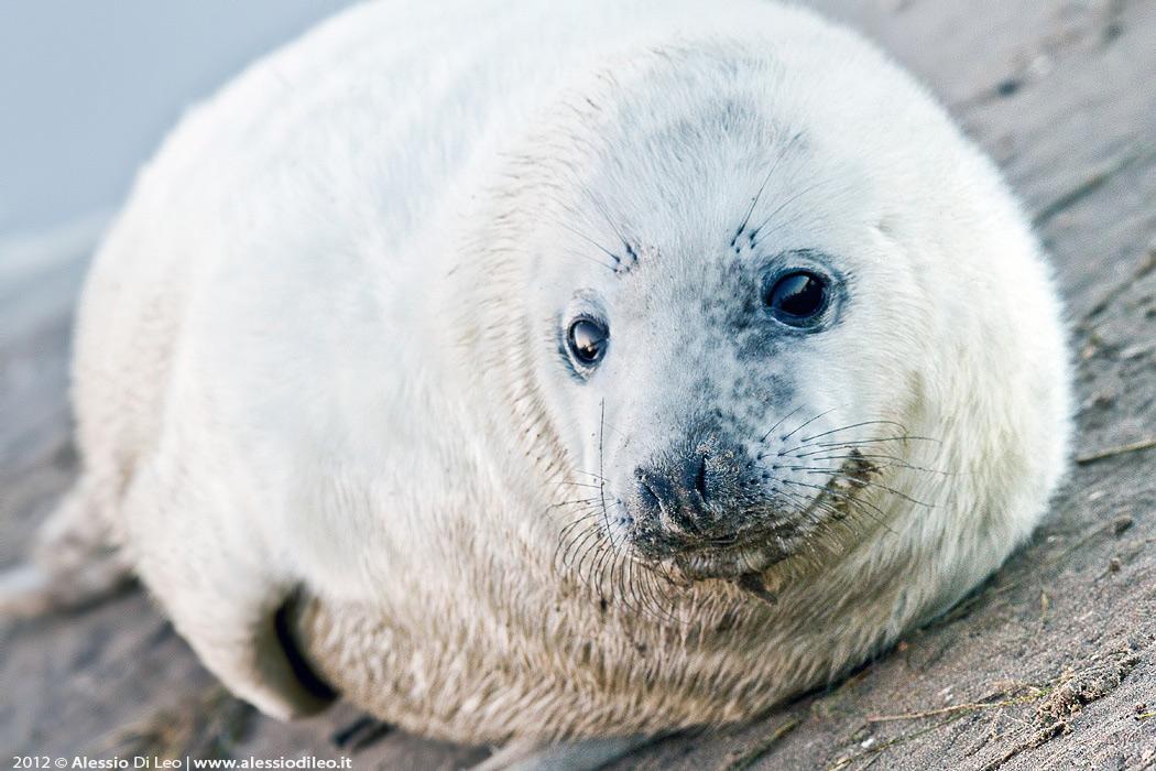 Cucciolo foca donna nook