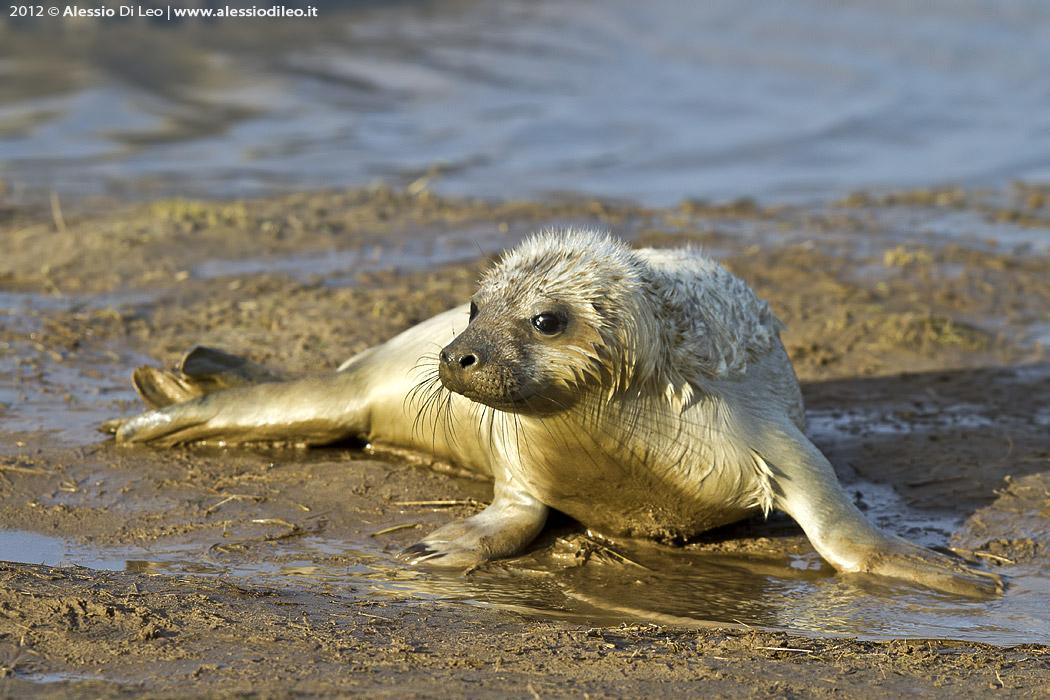 Cucciolo foca grigia