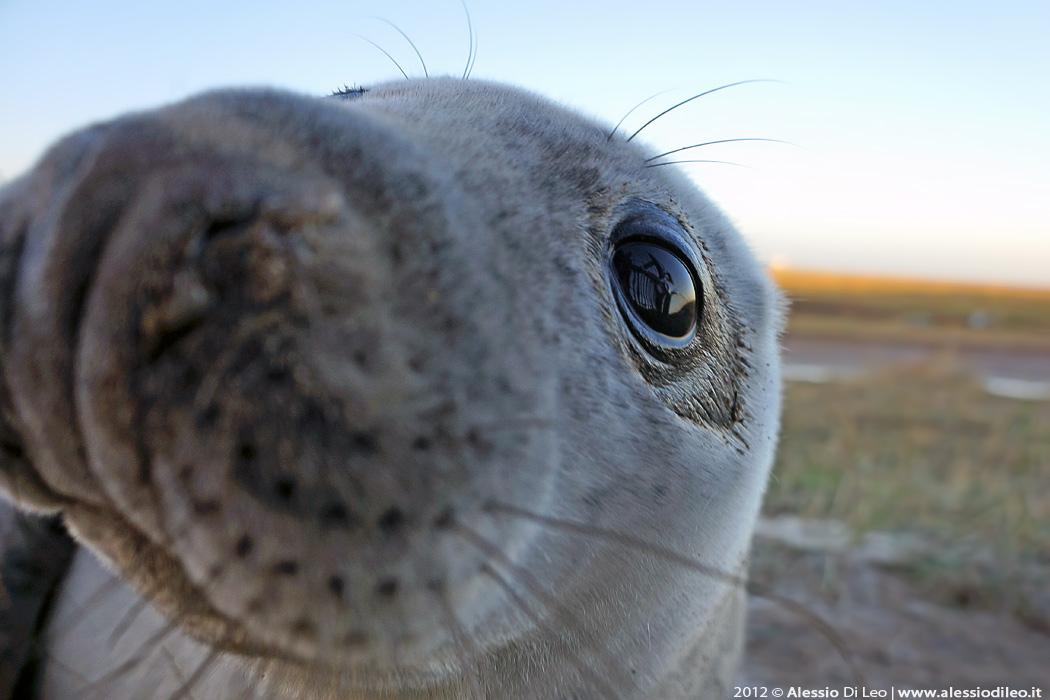 Cucciolo foca