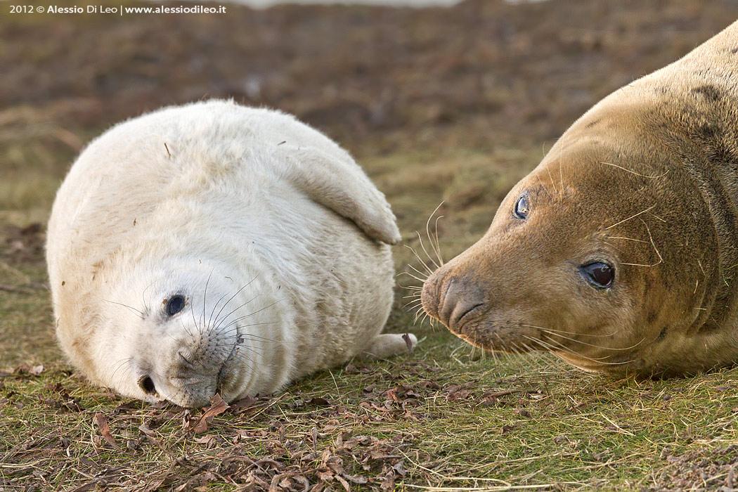 Donna Nook e la grande colonia delle foche grigie