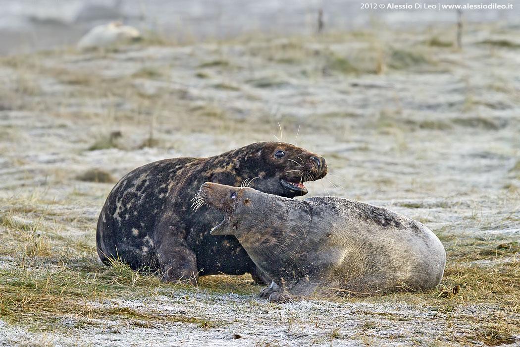 Donna Nook foca grigia