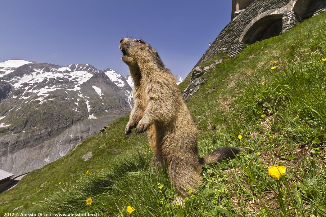 Fotografare la marmotta del Grossglockner