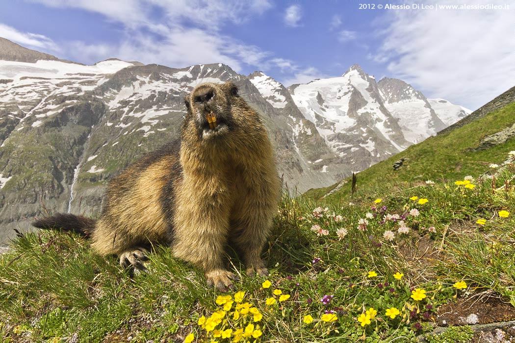 Grossglockner marmotta