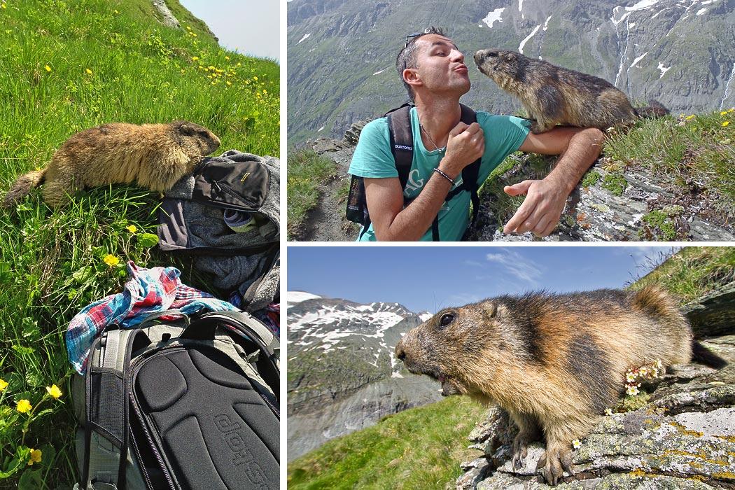 Marmotta Grossglockner