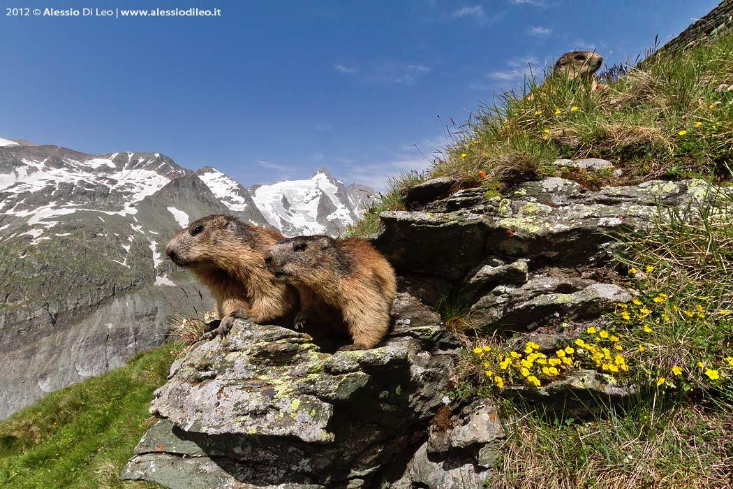 Marmotte Grossglockner