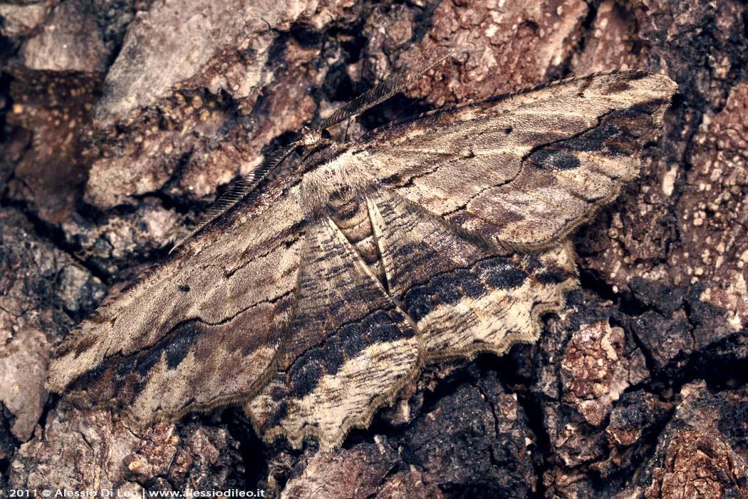 Mimetismo insetti