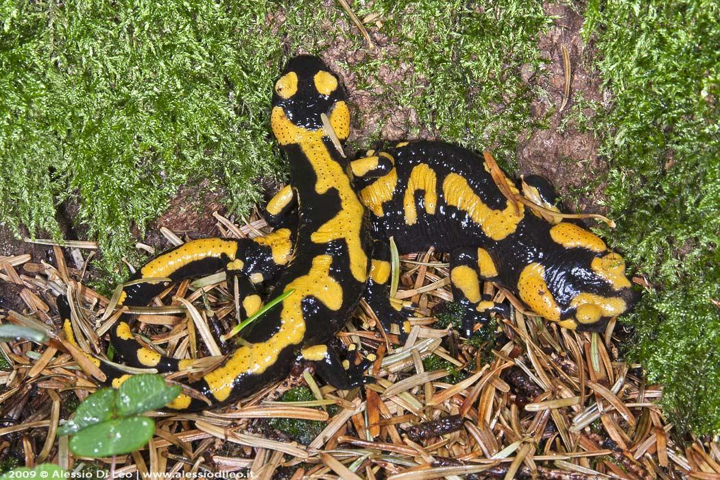 Mimetismo salamandra