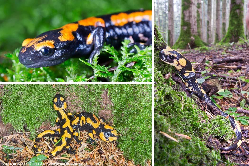 Eremo di Camaldoli salamandra pezzata