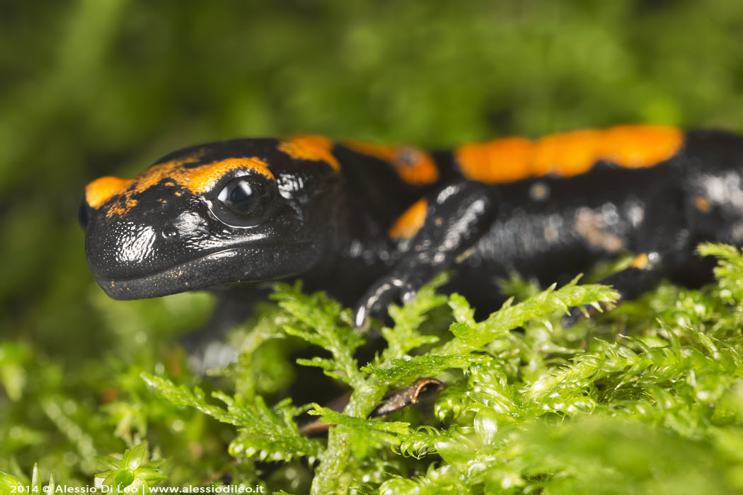 Salamandra pezzata e l'eremo di Camaldoli