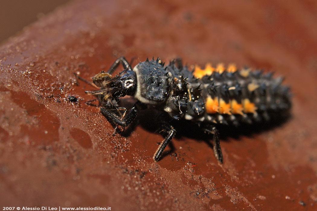Larva coccinella