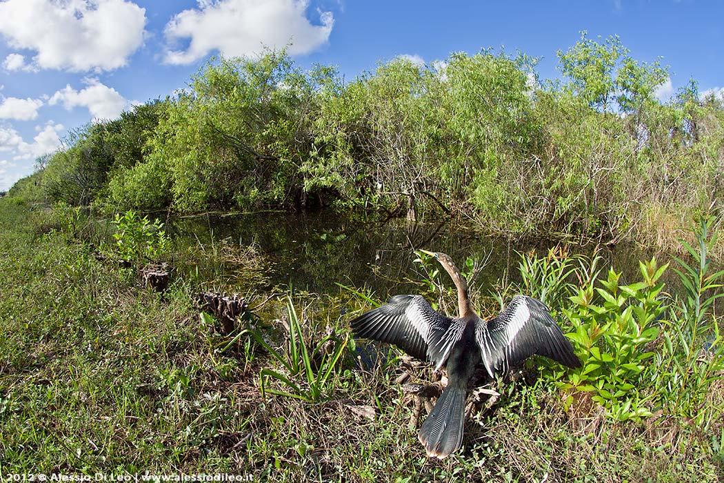 Everglades Anhinga