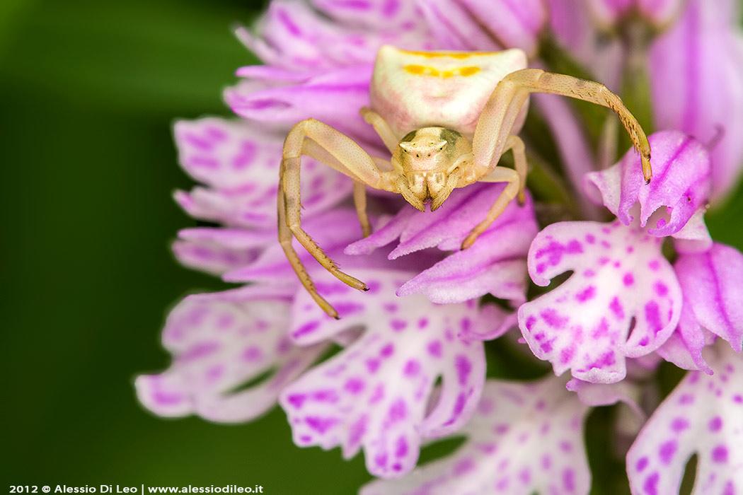 Thomisidae orchidea selvatica