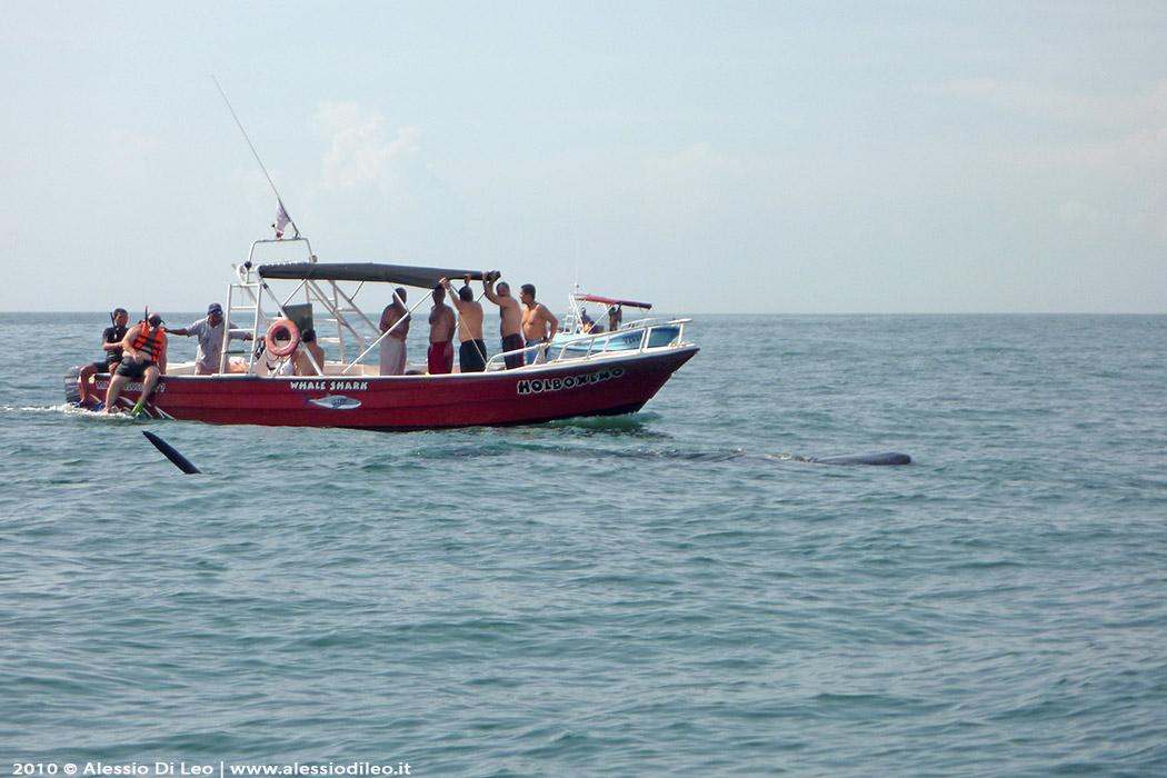 Escursione squalo balena