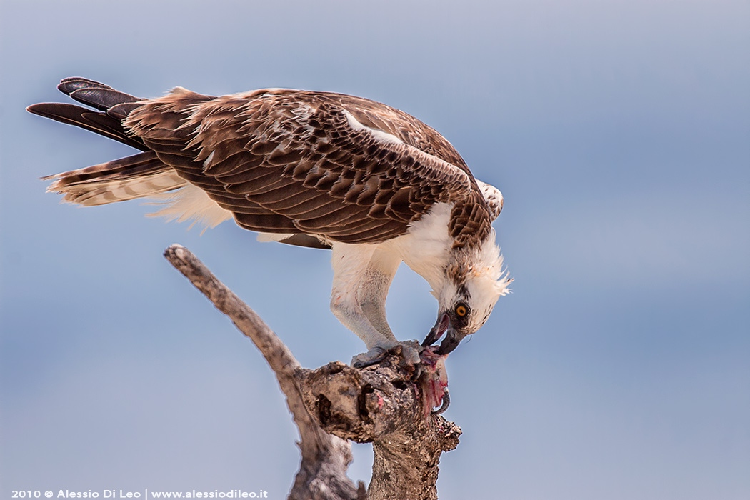 Falco pescatore caraibico [Pandion haliaetus ridgwayi]