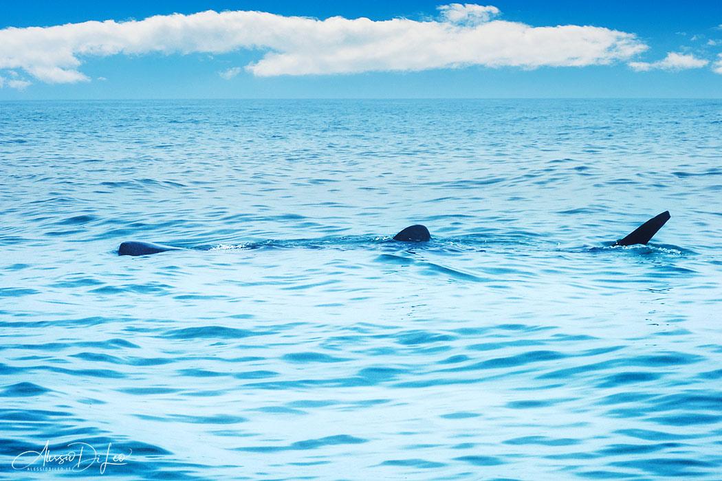 Squali balena holbox