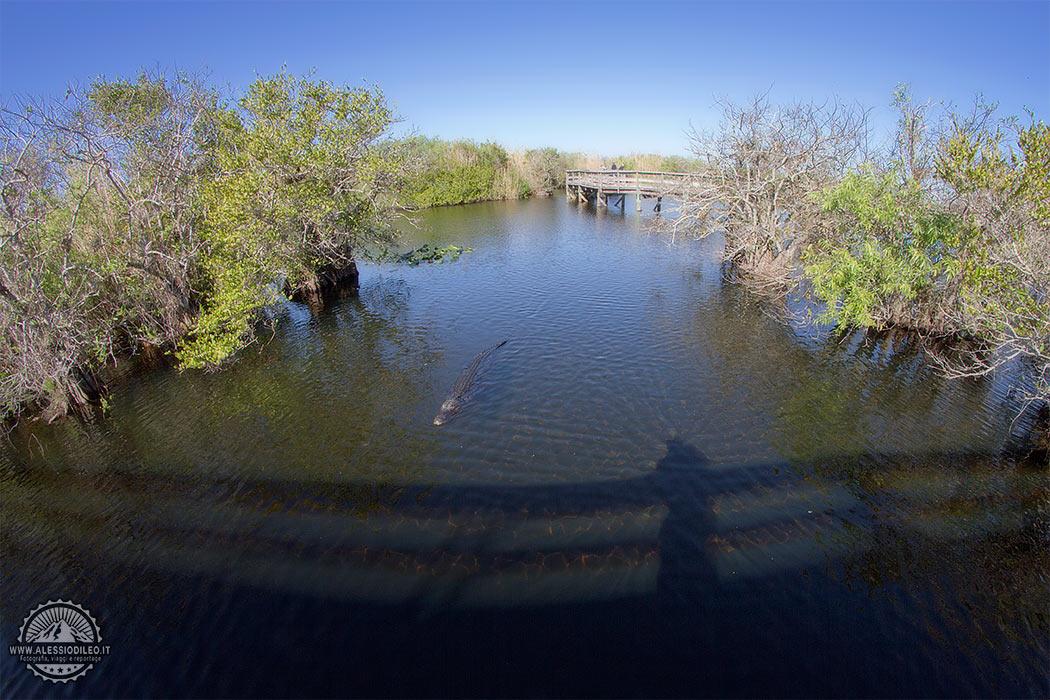 Florida anhinga