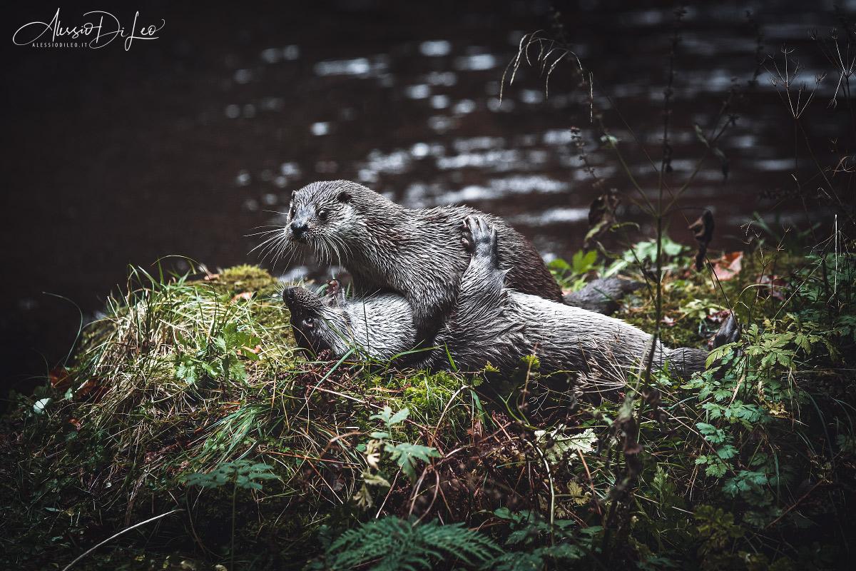 Bayerischer wald lontra