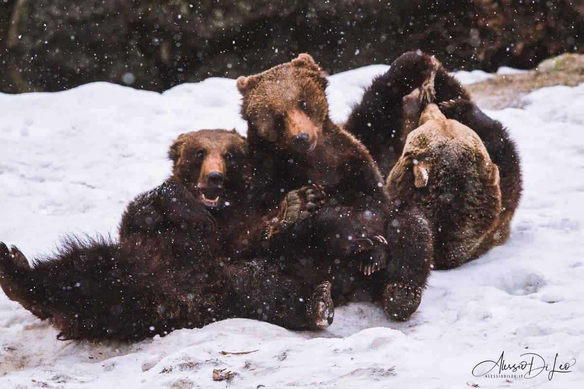 Bayerischer wald orsi