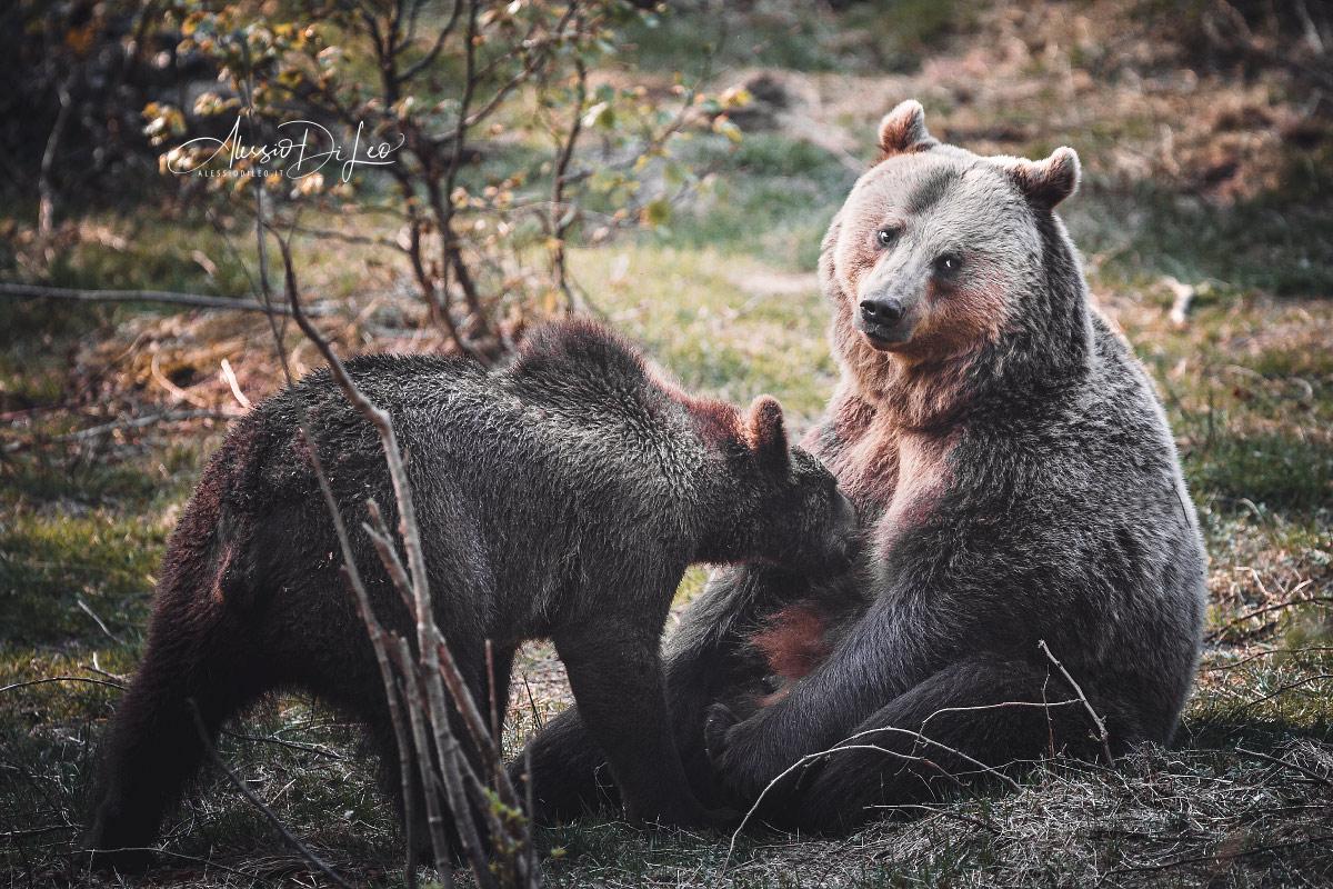 Bayerischer wald orso