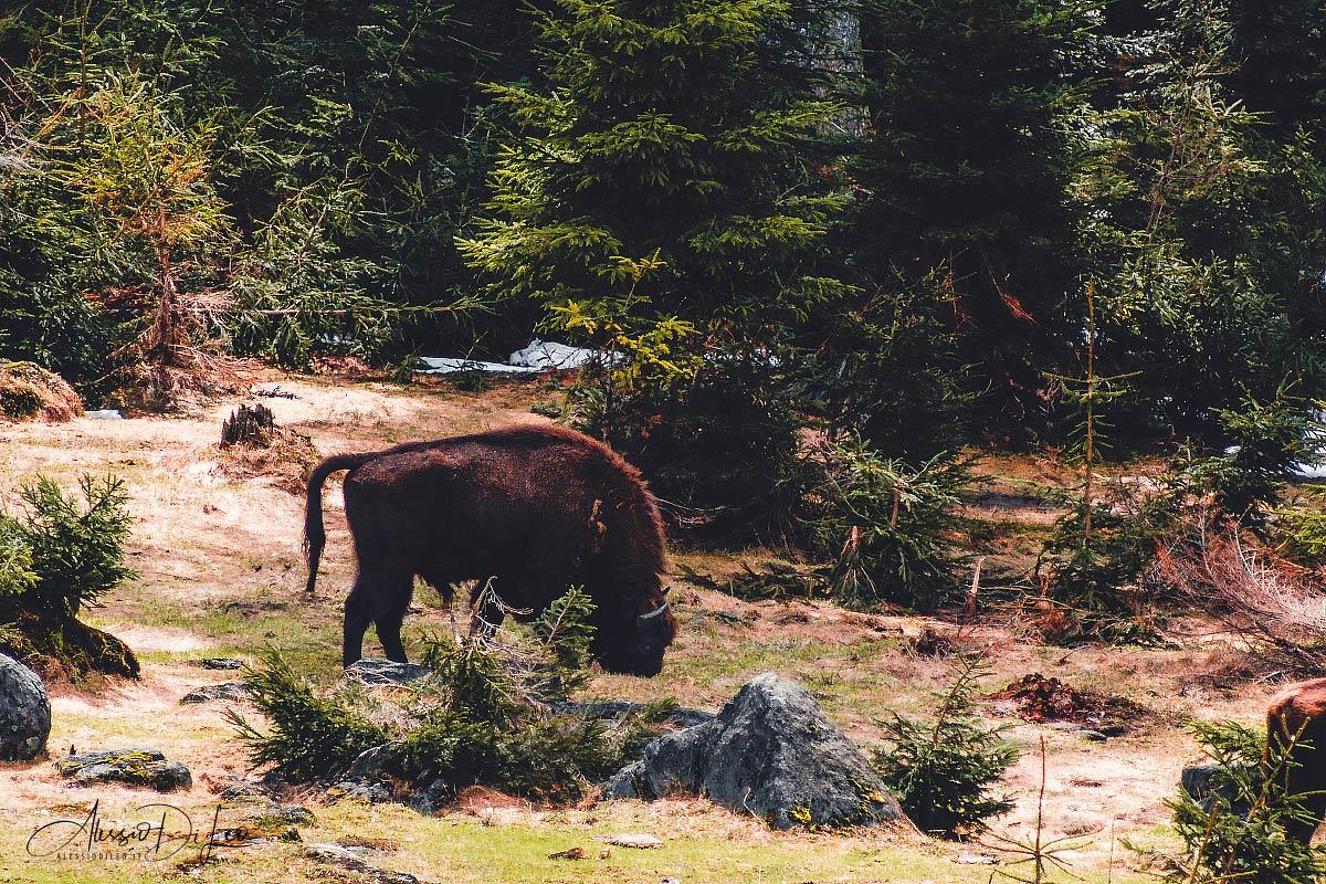 Bisonte europeo [Bison bonasus]