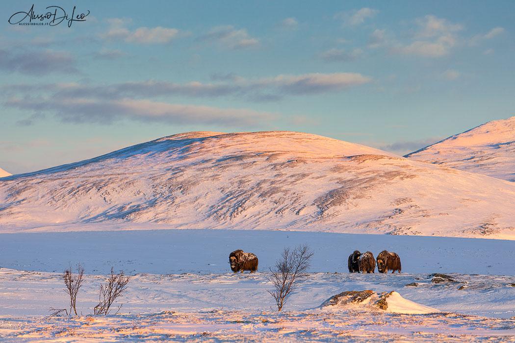 Bue muschiato norvegia Dovrefjell