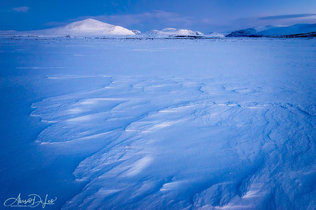 Norway muskox