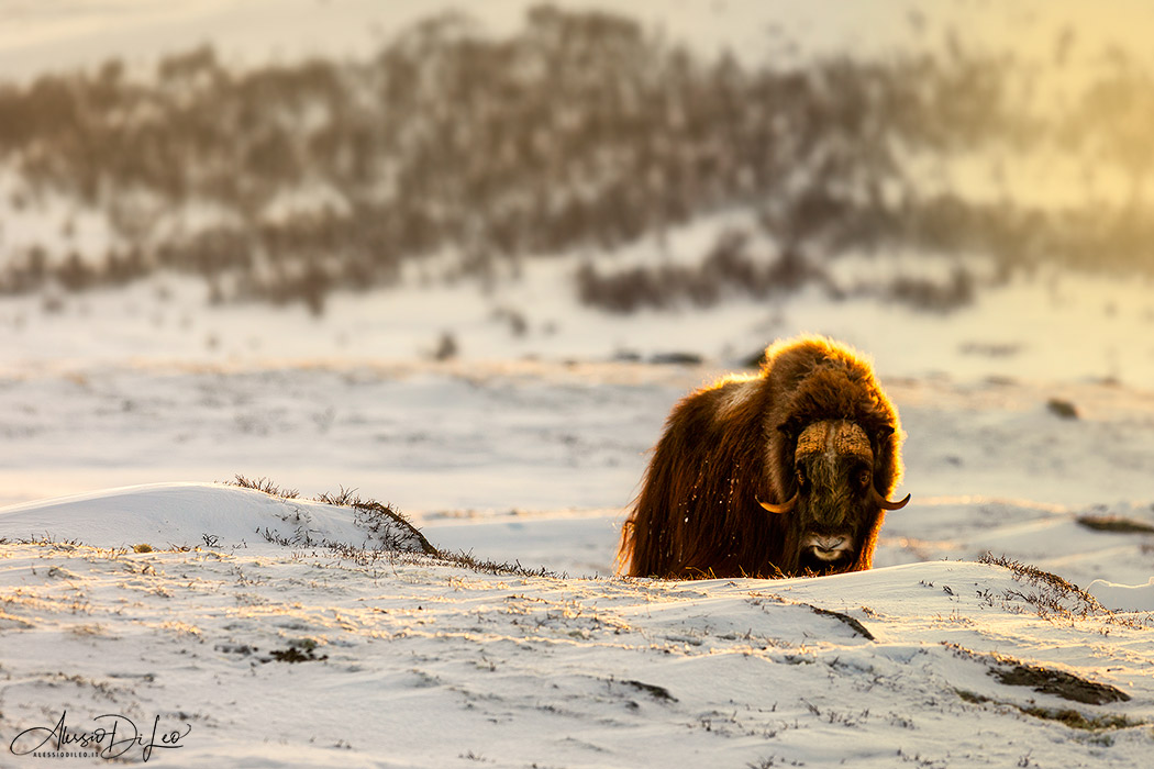 Safari bue muschiato norvegia